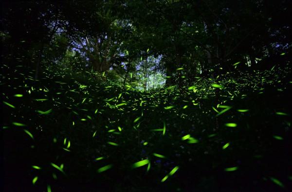 Nissan與車主一同復育螢火蟲生態--東勢林場螢光閃耀